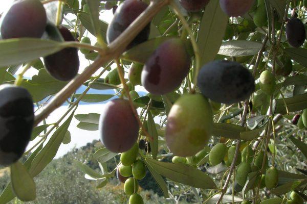 3. Pate Olive 3 - Olive x raccolta
