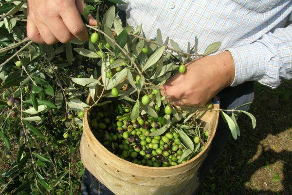 3. Pate Olive 4 raccolta con grumial