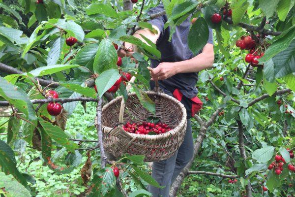 6. Frutti di Tignale 2 - racolta ciliegie