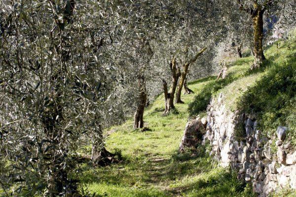 coltivazione-ulivi-latteria-turnaria-02