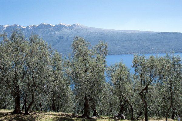 coltivazione-ulivi-latteria-turnaria-03