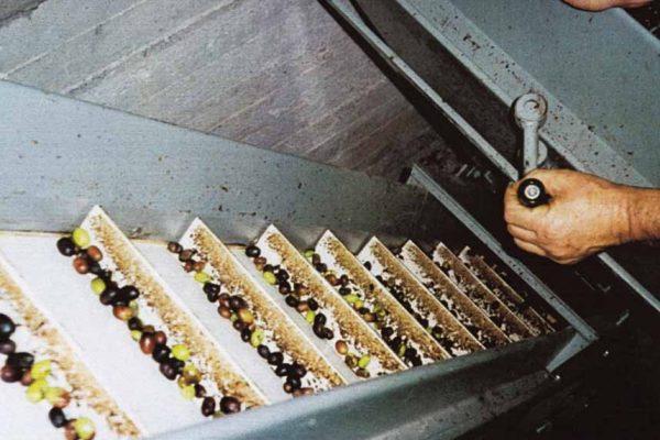 lavorazione-delle-olive-latteria-turnaria-02