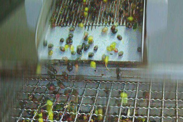 lavorazione-delle-olive-latteria-turnaria-03
