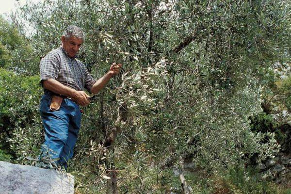potatura-olivi-latteria-turnaria-tignale-02