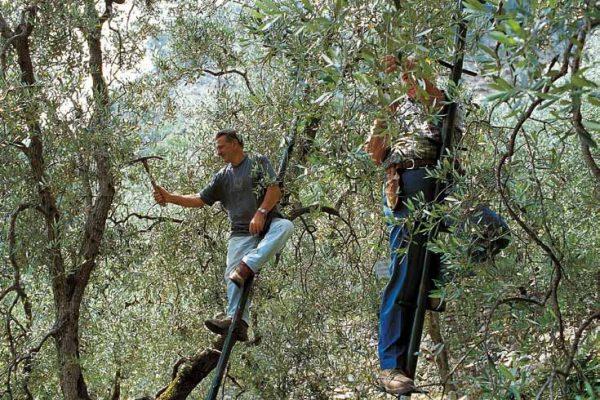 potatura-olivi-latteria-turnaria-tignale-03