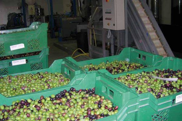 raccolta-olive-latteria-turnaria-02