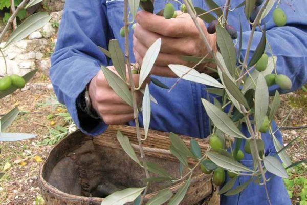 raccolta-olive-latteria-turnaria-03