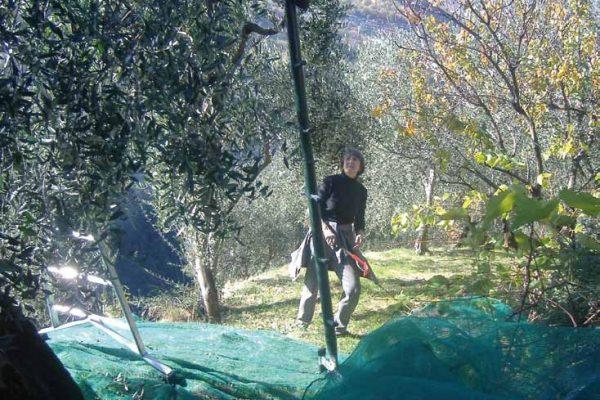 raccolta-olive-latteria-turnaria-04