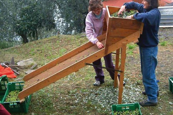 raccolta-olive-latteria-turnaria-06