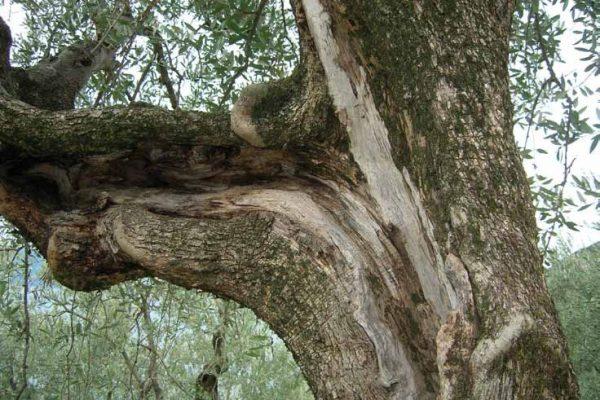 slurpatura-olivi-latteria-turnaria-tignale-03